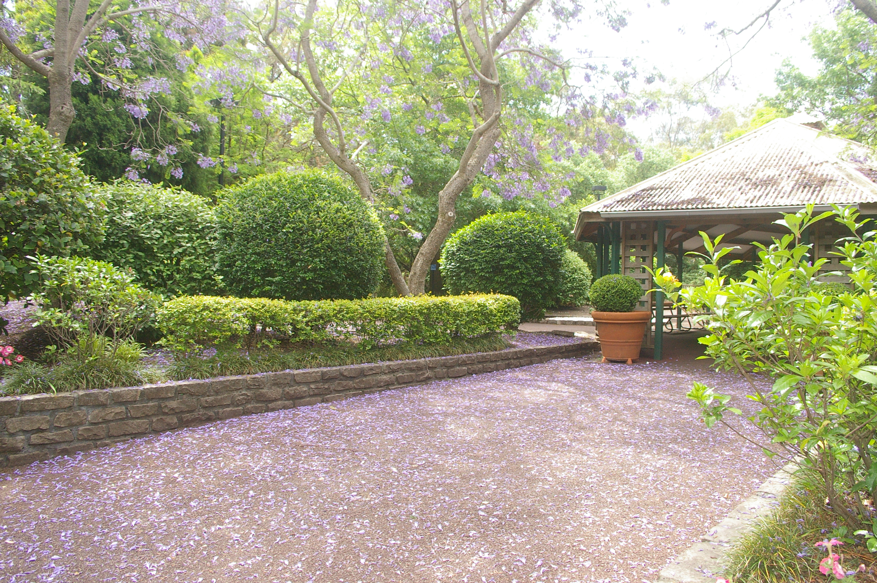 A Purple Haze Of Jacaranda Blooms At The Scented Garden